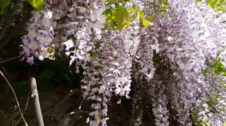 gałąź : Closeup of pink flower clusters of an Wisteria in full bloom in spring. Light breeze, sunny day, dynamic scene, 4k video