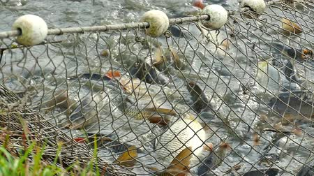 fish farm : Fishing net full of carp caught in freshwater ponds in slow motion, Slow Motion Video Clip Stock Footage
