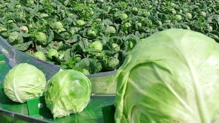 трейлер : Seasonal Work in the Field - Harvesting Cabbage, 4 K Video Clip