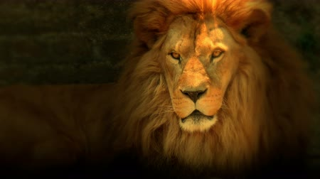 juba : Beautiful lion with a big beautiful mane lies quietly, 4 K Video Clip