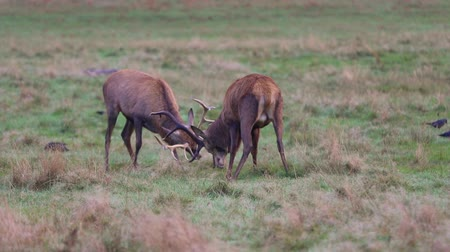 cervus elaphus : Red deer