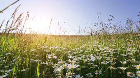 stokrotki : daisy flower meadow field against blue sky and sunset with wind Wideo