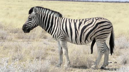 mamífero : Zebras in African bush. Etosha National Park Namibia Kunene Ombika. True wildlife photography