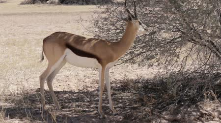 papel : Portrait of a springbok antelope grazing in Kgalagadi National Park, Namibia