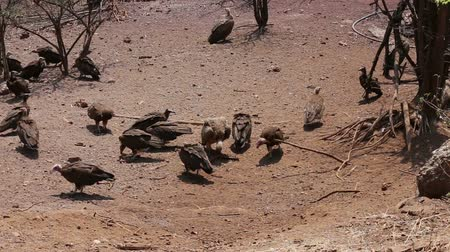 predatory bird : Flock of White backed vulture on carrion feast in which Zimbabwe national park