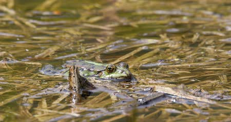 ridibunda : Beautiful marsh frog (Pelophylax ridibundus), the largest frog native to Europe, looking out of the water on a pond. Czech, European wildlife Stock Footage