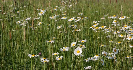 uncultivated field : White marguerite (Leucanthemum vulgare) or daisy flower in spring breeze, tranquil springtime countryside natural scene