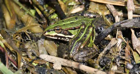 ridibunda : Green marsh frog (Pelophylax ridibundus), the largest frog native to Europe, Czech, European wildlife