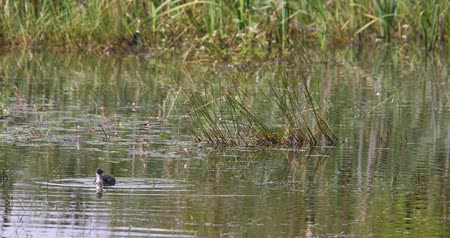 duck pond : Bird Eurasian coot (Fulica atra), crake bird family, the Rallidae. Duck feeding in a small pond on green reeds. Czech Wildlife. Close up Stock Footage