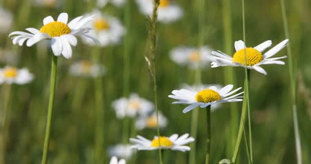 невозделанный : white marguerite (Leucanthemum vulgare) or daisy flower in springtime breeze, tranquil spring countryside natural scene