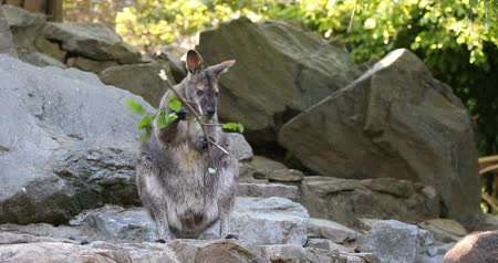 tasmania : feeding family of cute kangaroo Red necked Wallaby, Female kangaroo with looking baby from bag Stock Footage