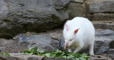 tasmania : feeding white albino kangaroo cute Red-necked Wallaby, Natural exception with abstract color Stock Footage