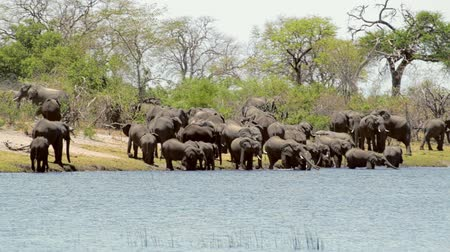 Намибия : herd of African elephants going out of a waterhole in a very hot day with air curtains, Caprivi strip national park, Namibia. Africa wildlife and safari