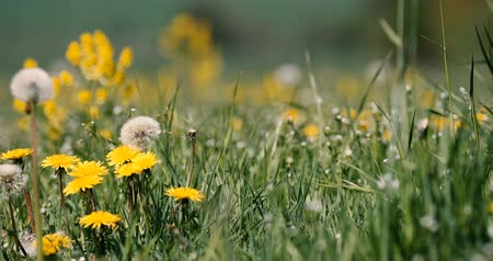přirozeně : spring meadow with dandelions in fresh breeze, tranquil springtime countryside natural scene Dostupné videozáznamy