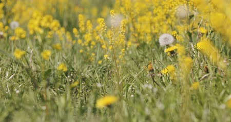 nisan : spring meadow with dandelions in fresh breeze, tranquil springtime countryside natural scene Stok Video