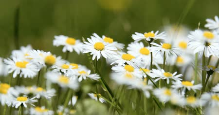 uncultivated field : white small daisy flowers in green grass in spring, tranquil springtime countryside natural scene Stock Footage