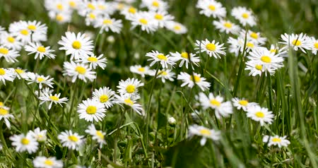 inculto : white small daisy flowers in green grass in spring, tranquil springtime countryside natural scene Vídeos