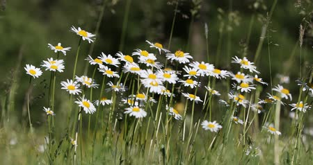 inculto : white marguerite daisy flower field or meadow in spring time, tranquil countryside natural scene