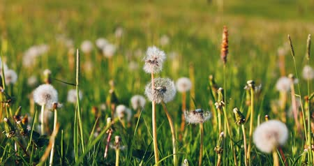 inculto : dandelion (Taraxacum officinale) with spring on the meadow in spring breeze, tranquil springtime countryside natural scene