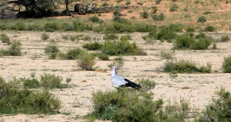 strzelec : Secretary bird, (Sagittarius serpentarius) in Kalahari, green desert after rain season. Kgalagadi Transfrontier Park, South African wildlife safari