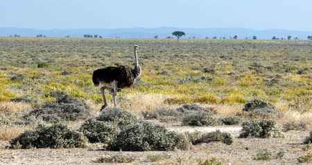 pštros : big bird Ostrich, Struthio camelus, in yellow flowering Etosha Pan after rain season. Etosha National Park, Namibia Wildlife Safari