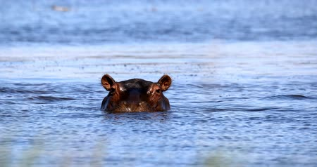 hippo : hippo in Khwai river, Moremi game reserve, Okavango delta, Botswana, Africa safari wildlife and wilderness
