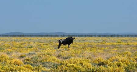 namibya : wild Blue Wildebeest Gnu in Etosha, yellow blooming desert after rain season. Namibia Africa wildlife safari Stok Video
