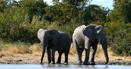 Family of Wild African Elephant in Moremi Game reserve, Okavango Delta, Botswana wildlife safari Стоковые видеозаписи