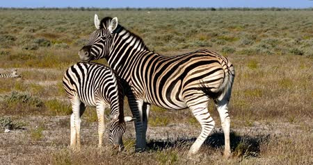 Zebra with calf in African bush. Etosha National Park, Namibia, Africa Wildlife Safari Стоковые видеозаписи