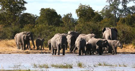Намибия : herd of African Elephant on eaterhole in Moremi Game reserve, Okavango Delta, Botswana wildlife safari