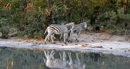 herd of Burchelli Zebra on waterhole in african bush. Moremi National Park Okavango, Botswana, Africa Wildlife Safari