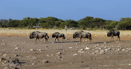 wild Blue Wildebeest Gnu in Etosha waterhole, Namibia Africa wildlife safari Стоковые видеозаписи