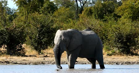 namibya : Wild African Elephant in Moremi Game reserve, Okavango Delta, Botswana wildlife safari Stok Video