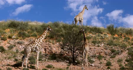cute Giraffes (Giraffe) in Kalahari, green desert after rain season. Kgalagadi Transfrontier Park, South African wildlife safari