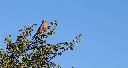 akacja : Greater Falcon (Falco rupicoloides) perched in a tree, Etosha, Namibia Wildlife Safari