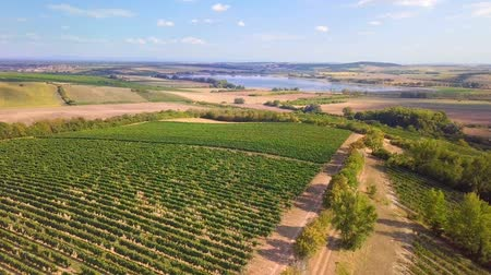 coming : Summer landscape with vineyards in the countryside, aerial bird view Stock Footage