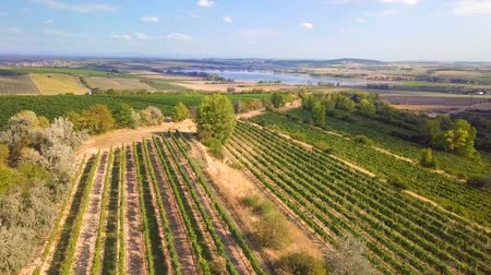 Summer landscape with vineyards in the countryside, aerial bird view Стоковые видеозаписи