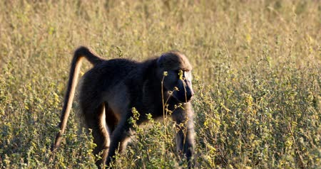 monkey Chacma Baboon (Papio anubis) in African Savage, Bwabwata Caprivi strip game park, Namibia, Africa safari wildlife Стоковые видеозаписи