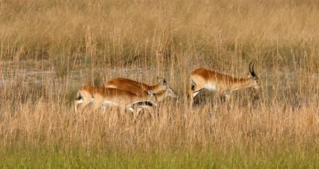 zimbabwe : herb of southern red lechwe antelopes, Bwabwata Namibia Africa safari wildlife