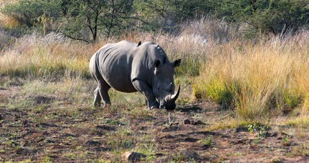 рог : White rhinoceros on waterhole in Pilanesberg National Park & ??Game Reserve, South Africa safari wildlife