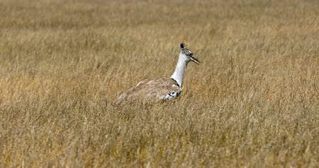 Big bird Kori bustard in the African bush, Etosha national park, Namibia, Africa Стоковые видеозаписи