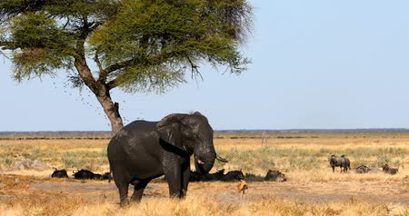 Majestic Wild Elephant in Savuti, in background herd of wildebeest. Chobe Game reserve. Botswana, Africa wildlife safari.