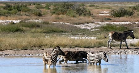 Burchells zebra in the African bush bathing on the waterhole, Etosha national park, Green vegetation after the rain season. Namibia wildlife wildlife safari, Africa Стоковые видеозаписи