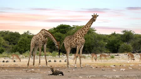 копытный : Giraffe camelopardalis on Etosha National park waterhole with lying stripped hyena, Namibia safari wildlife