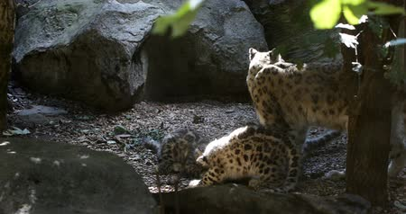 panthers : 4 months old playful baby kitten of cat Snow Leopard, Irbis, Uncia Unca Stock Footage