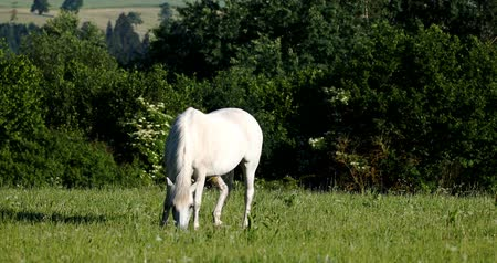 white horse grazing in a spring meadow