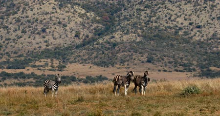 senhor : Burchells Zebras in the African Bush, Pilanesberg National Park, South Africa Wildlife Safari