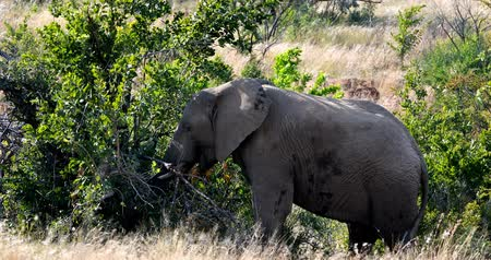 namibya : Majestic wild African Elephant in Pilanesberg Game reserve. South Africa wildlife safari.