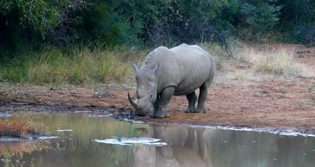 câmara : White rhinoceros on waterhole in Pilanesberg National Park & ??Game Reserve, South Africa safari wildlife
