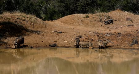 kismalac : Family of African Warthog on Waterhole in Pilanesberg Game Reserve, South Africa Wildlife Safari